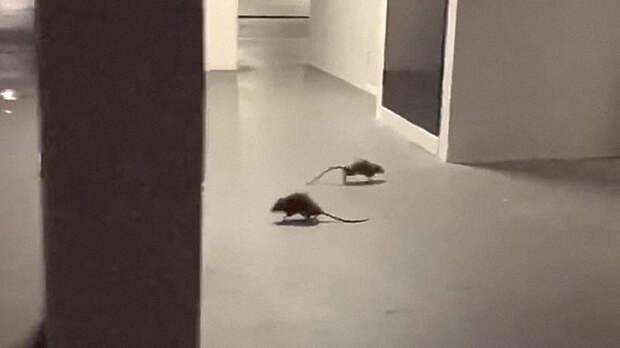 Закончив поединок, крысы разбежались в разные стороны. Изображение: кадр из видео