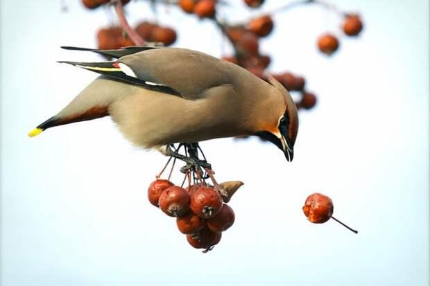 В Миннесоте пьяные птицы громят город