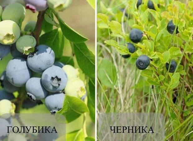 Голубика и черника — в чем разница: их фото и свойства