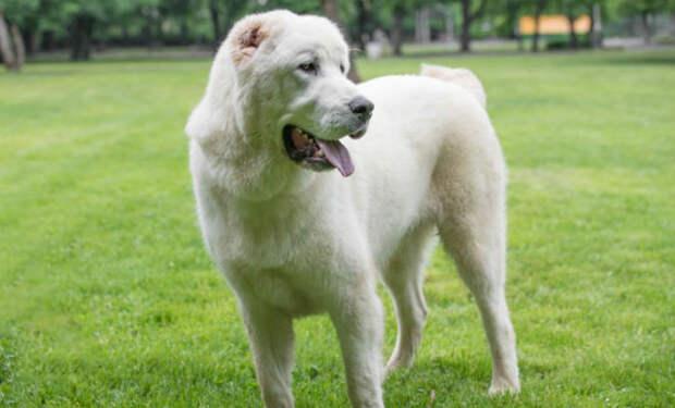 Лучшие собаки для охраны дома