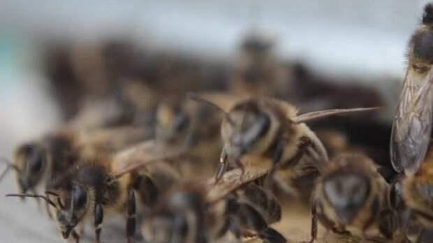 Гибелью 20 миллионов пчёл в Красноярском крае займётся Следственный комитет