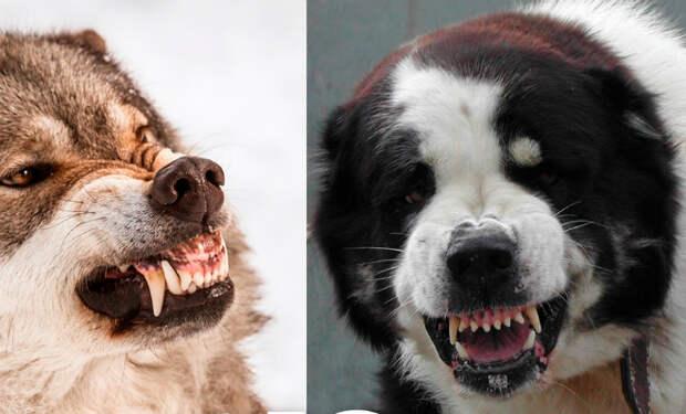 Опасные собаки, которые способны победить волка