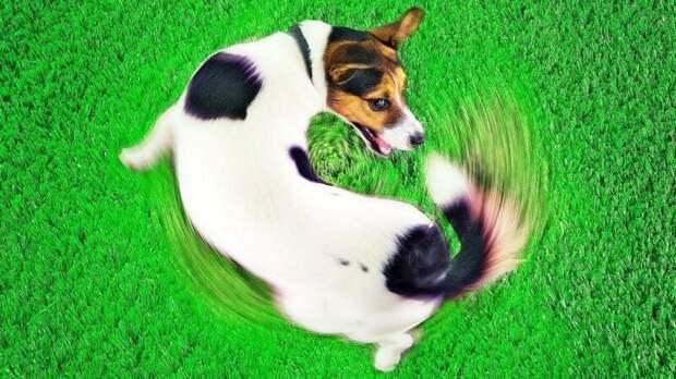 Почему собаки охотятся за своим хвостом? волк, вопросы, домашние животные, животные, ответы, собаки, факты, шарик