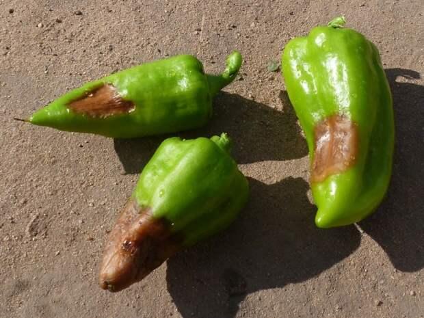 Испорченные части перца нужно отрезать, а хорошие - измельчить для салата. / Фото: pomidom.ru