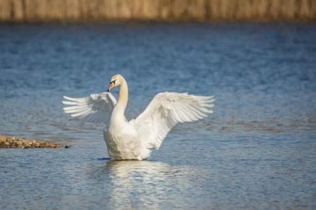 Спасение охотниками редкого лебедя