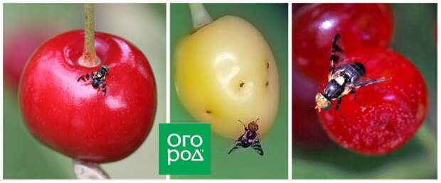 Внутри ягод вишни и черешни червяки – что это и как избавиться