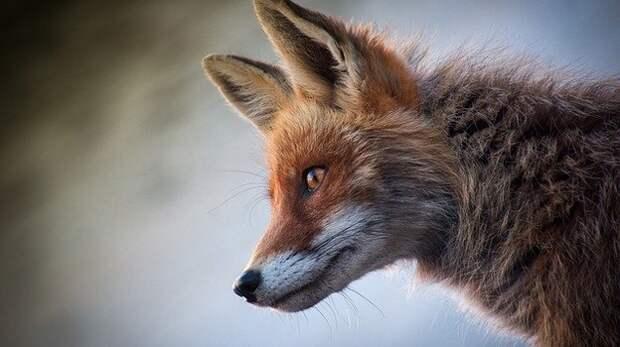 В Симферопольском районе ввели карантин из-за бешеной лисы