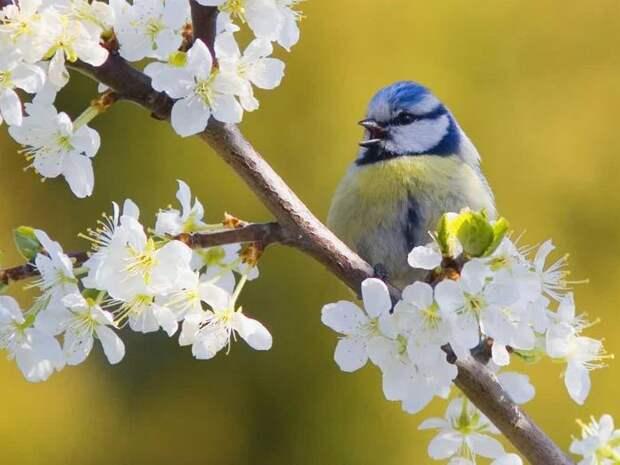 Обладает богатым вокальным репертуаром и преобладанием голубого цвета в окрасе оперения.