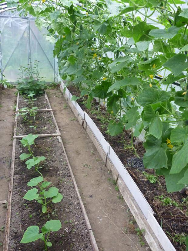 Растёт везде! Куда посадить огурцы без ущерба для урожая?