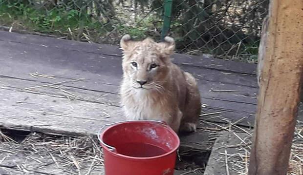 Львенка по кличке Натан Лионель спас год назад. Его также транспортировали в заказник в ЮАР.