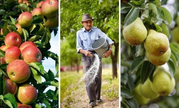 Чем подкормить яблоню и грушу осенью для лучшей зимовки и богатого урожая