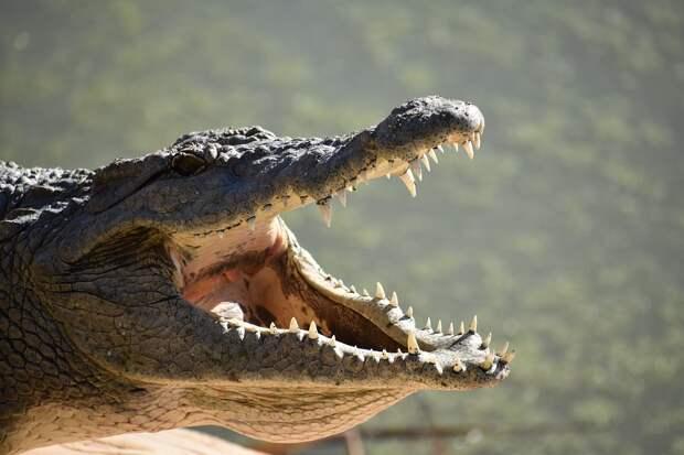 Едва не проглоченный крокодилом австралиец сумел освободиться от зубов хищника