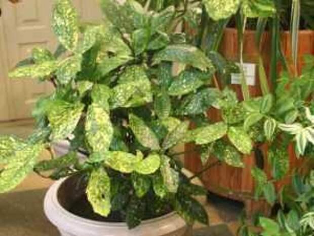 комнатные растения: аукуба японская