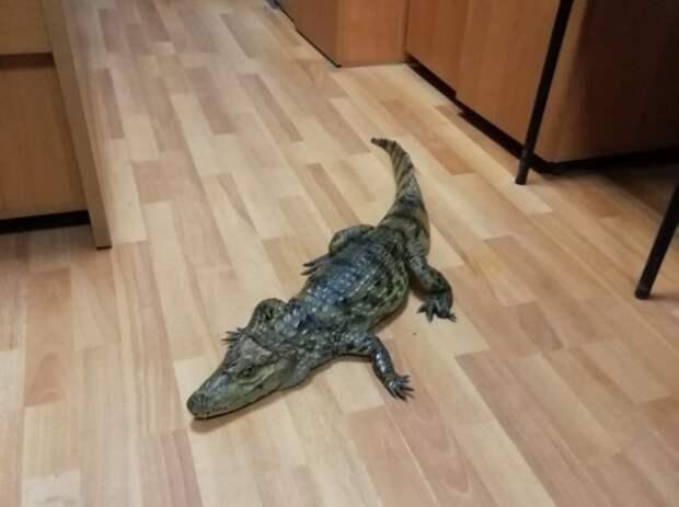 Житель Тарноги пришел в отдел полиции с крокодилом
