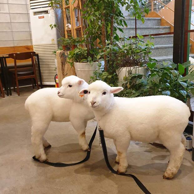 Милые и пушистые: единственное и лучшее в мире кафе с живыми овечками