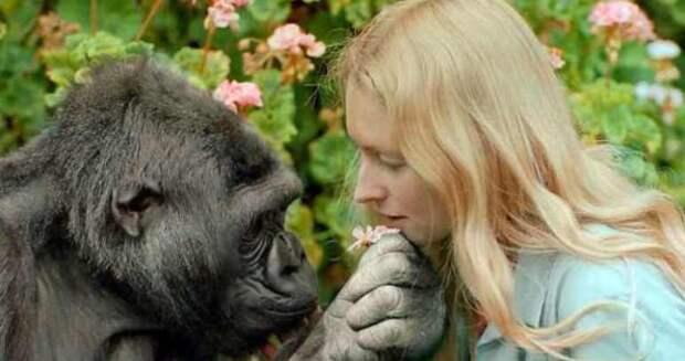 Говорящая горилла Коко: правда, мистификация или заблуждение ученых?