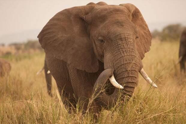 Учёные выяснили, почему слоны не болеют раком