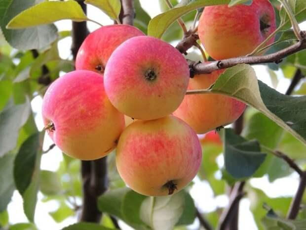 Как мы омолаживали старую яблоню.
