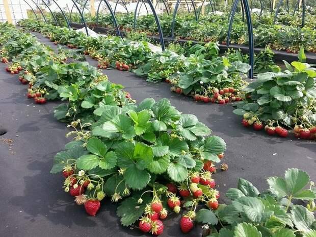 В качестве укрывного материала спанбонд может находиться в саду и огороде круглый год