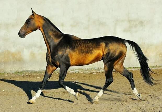 Дети пустыни. Одна из древнейших и самых красивых пород лошадей.