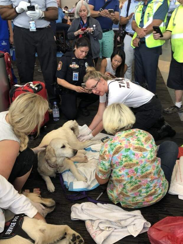 К счастью, медики аэропорта помогли 8 щенкам появиться на свет tampa, аэропорт, животные, лабрадор, роды, сша, фото, щенок