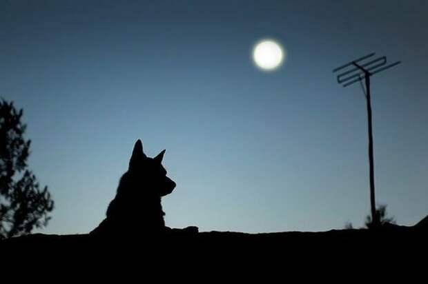 Почему собаки воют на Луну? волк, вопросы, домашние животные, животные, ответы, собаки, факты, шарик