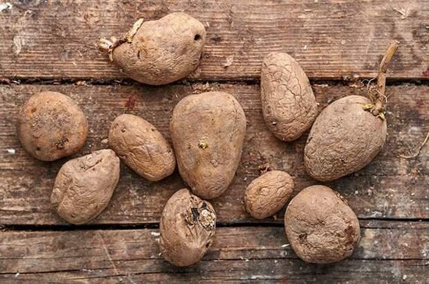 Хоть в горшок, хоть в мешок. Как выращивать картофель в вазонах?