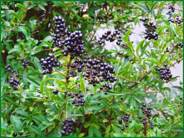 Волчья ягода аномально рано расцвела в «Аптекарском огороде»