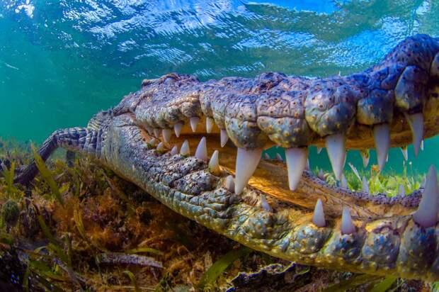 Крокодил плачет