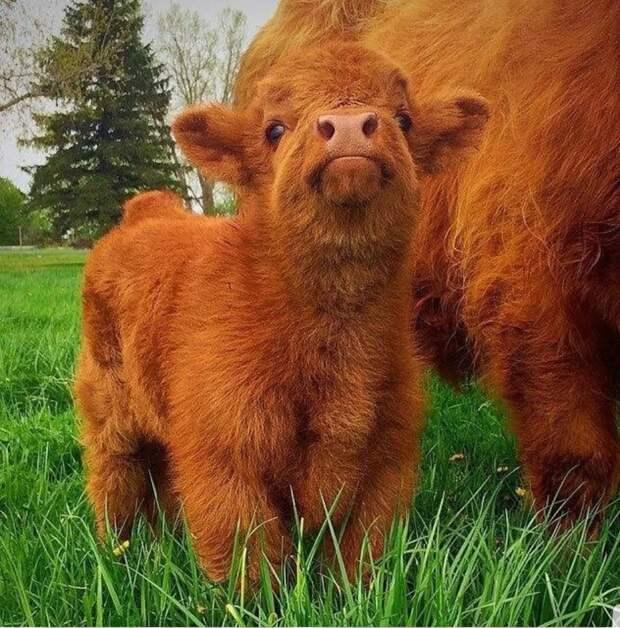 Шотландский телёнок.
