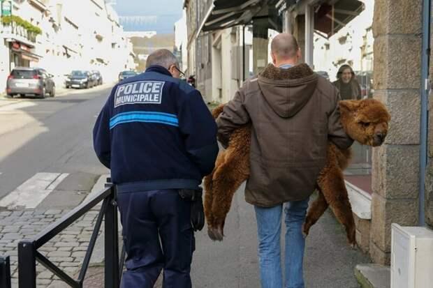 Во Франции альпака зашла в магазин оптики и полчаса выбирала очки