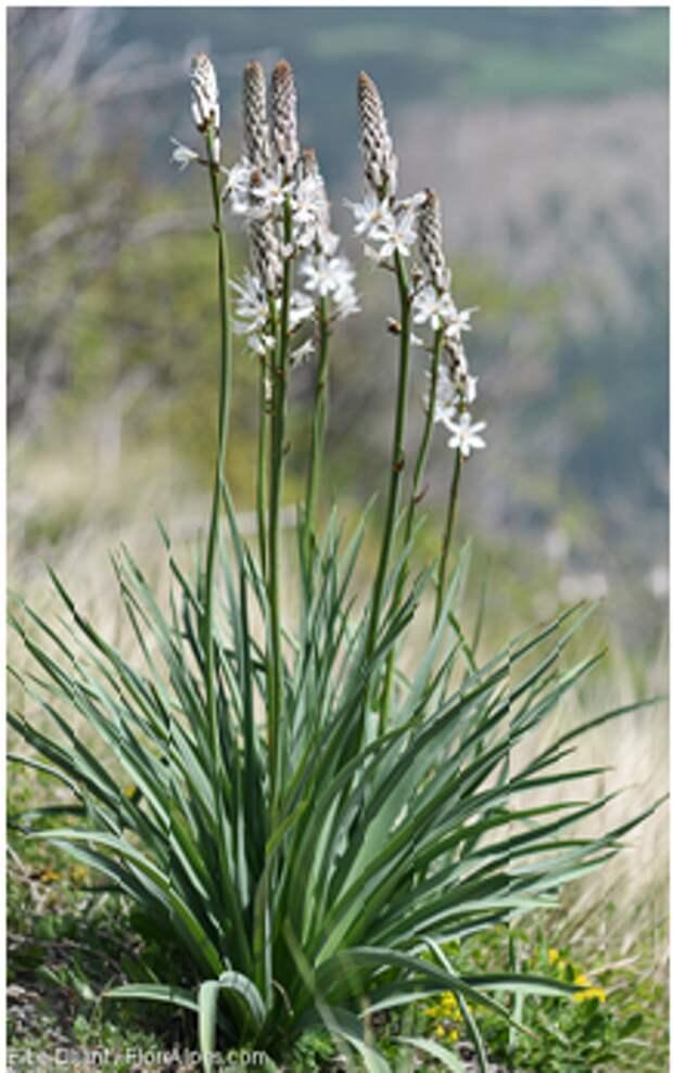 Les fleurs emblématiques des Pyrénées