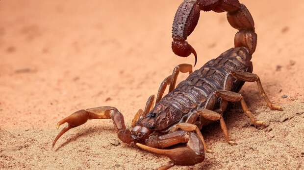 Туберкулез, возможно, будут лечить препаратами, изготовленными на основе яда скорпиона