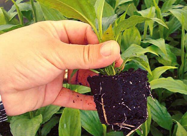 Купленное в магазине растение желательно сразу пересадить