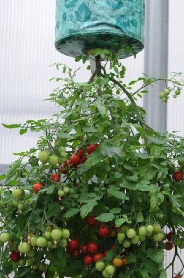 Ухаживать за помидорами на балконе довольно легко: главное обеспечить свет и не забывать поливать. /Фото: i.pinimg.com