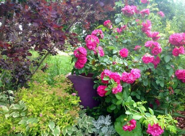 Роза John Cabot