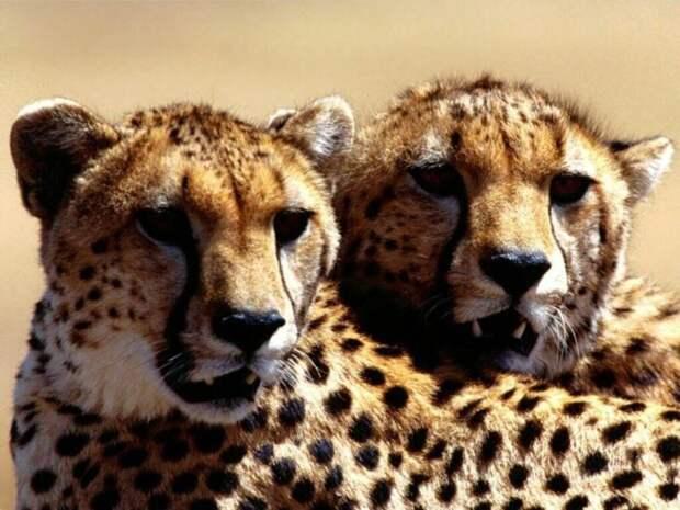 Самец и самка гепарда: основные отличия
