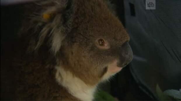 Кормящая коала проехала 16 км в колесе автомобиля! Но ничего – жива, здорова, не обиделась! :)