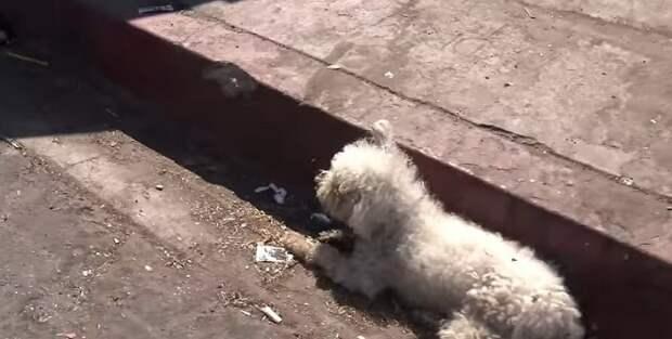 Маленький грязный пудель лежал на дороге больше суток. Он просто не мог подняться!