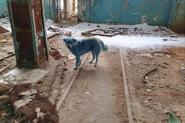 Испугавших россиян голубых собак осмотрели ветеринары