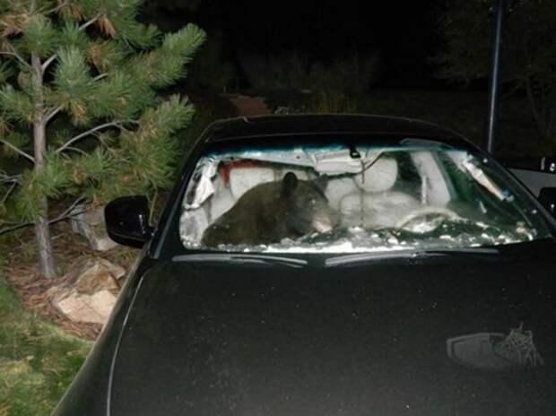 Полицейским пришлось вызволять из автомобиля медведя