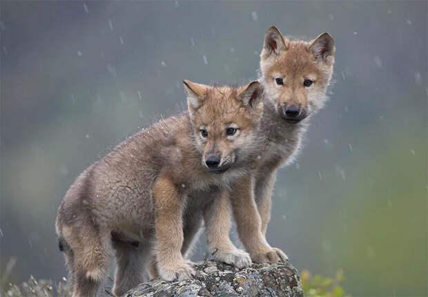 В лес за щеночком: история о том, как мои знакомые едва не стали обладателями волчат (или едва не сгинули в тайге)