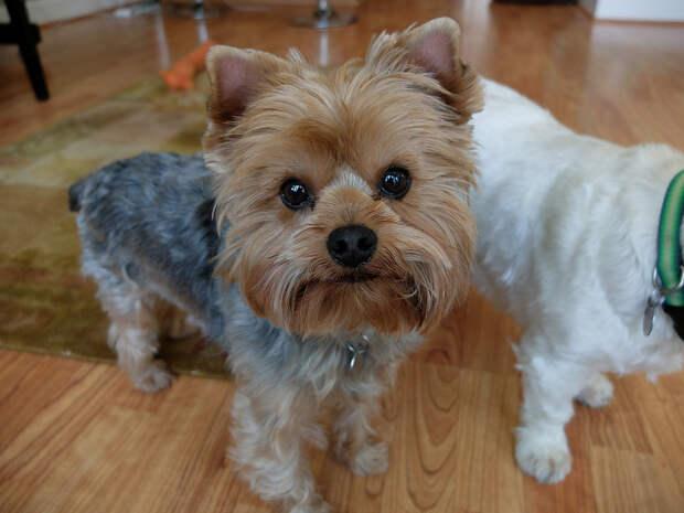 самые маленькие породы собак: Йоркширский терьер (йорк). фото
