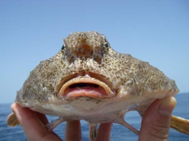Морские нетопыри: удивительные рыбы, которые не плавают, а ходят по дну