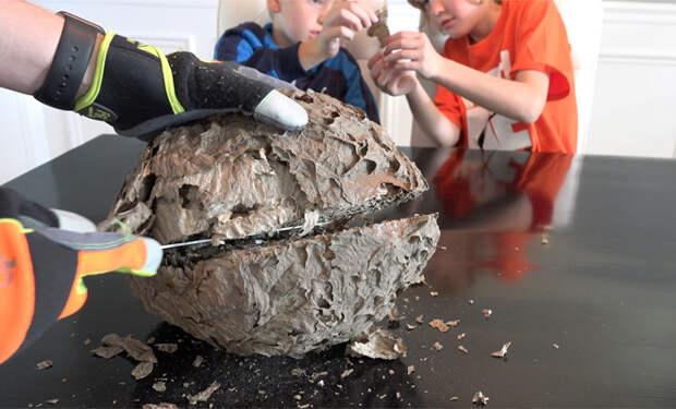 Осиное гнездо изнутри: отец и дети вскрыли его и сняли на видео