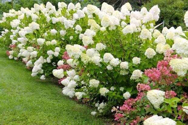 Гортензия лаймлайт: посадка и рекомендации по уходу от опытных садоводов.