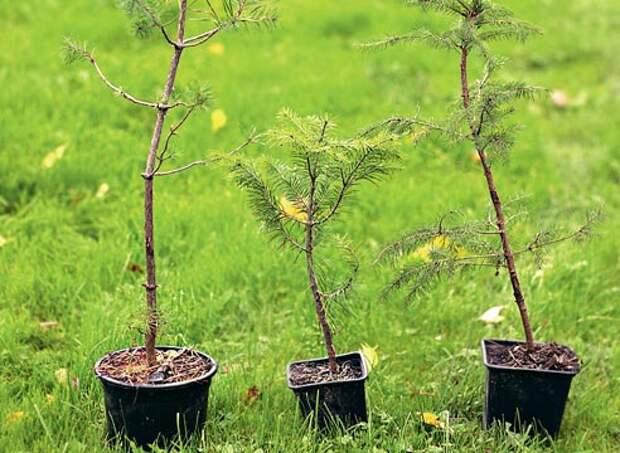 Прививка хвойных растений, как привить хвойные растения вприклад, подвой