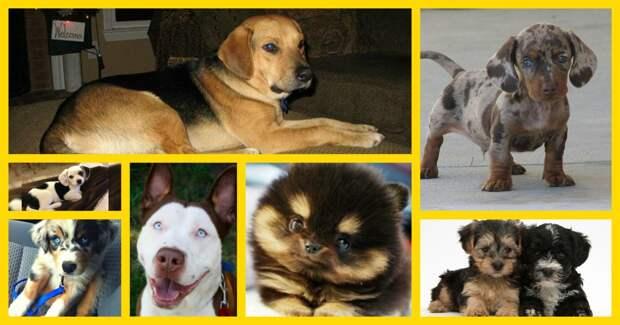 «Я не гибрид, я – красавчик!» 22 смешанные породы собак, которые очаруют ваше сердце!