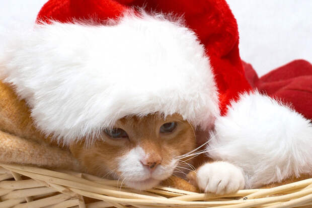 3166706_Christmas_Cat_2_by_dcode12 (700x466, 304Kb)