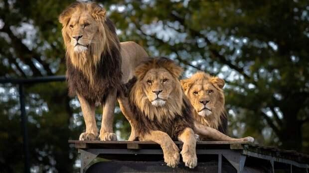 Ростовская полиция начала проверку пофакту запертых вфургоне львов